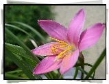 Kwiat, Zephyranthes Rosea