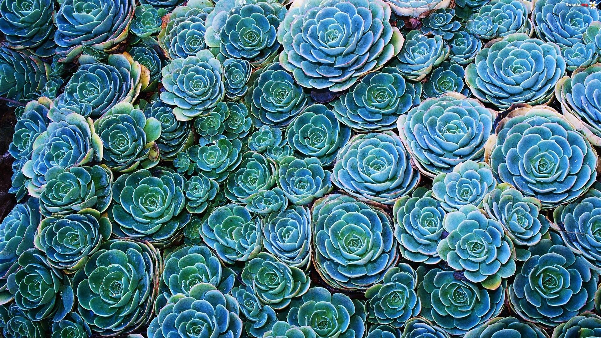 Каменная роза эхеверия уход  FloweryBlog