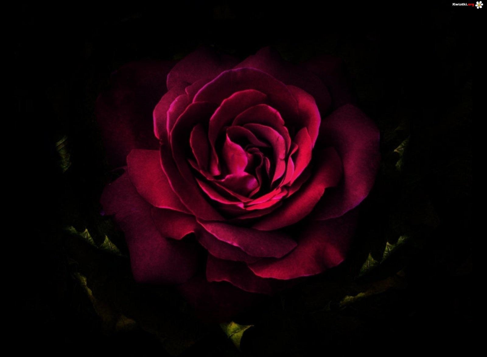 flower dictionary dark crimson rose