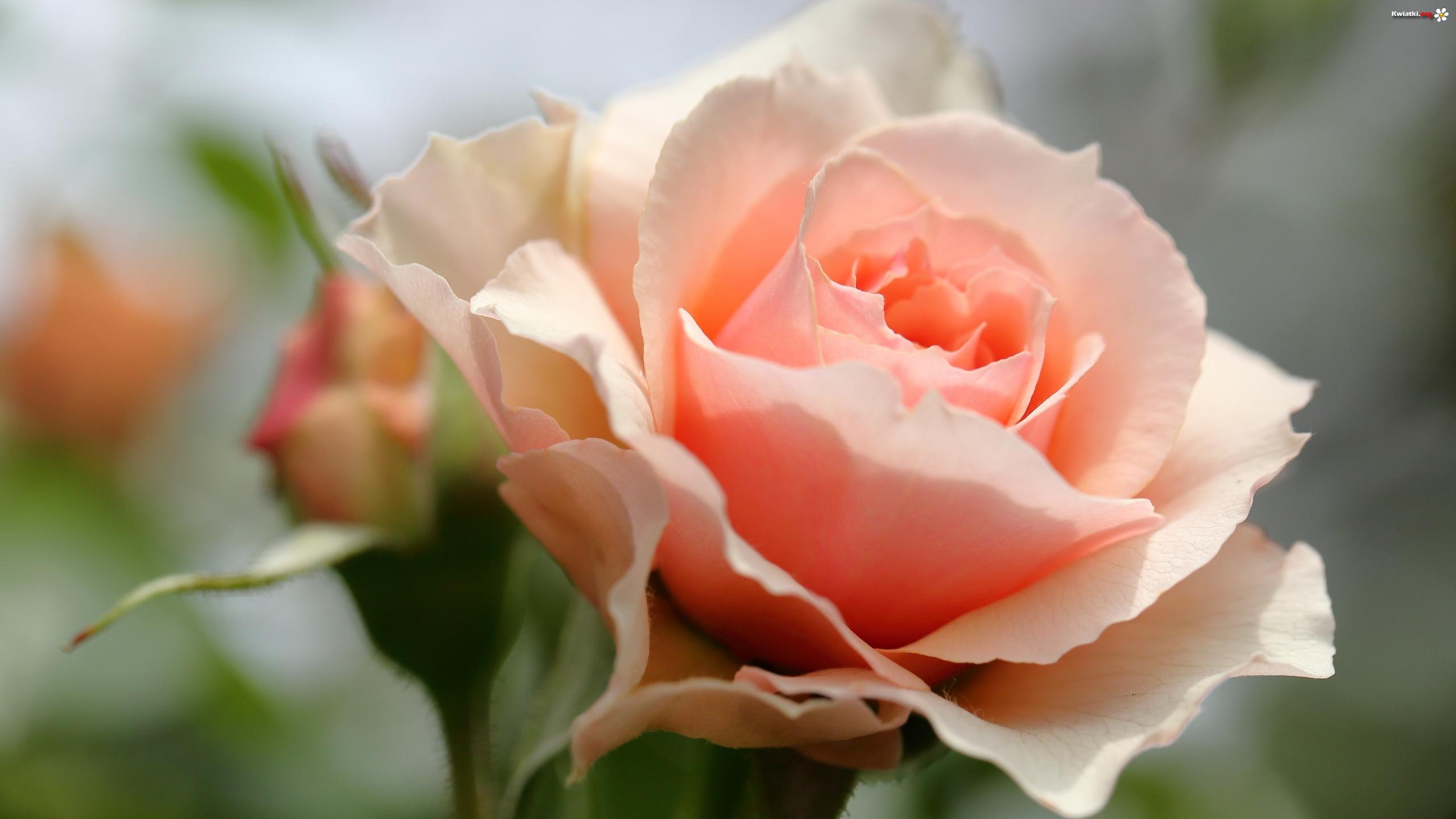 roza-rozwinieta.jpeg