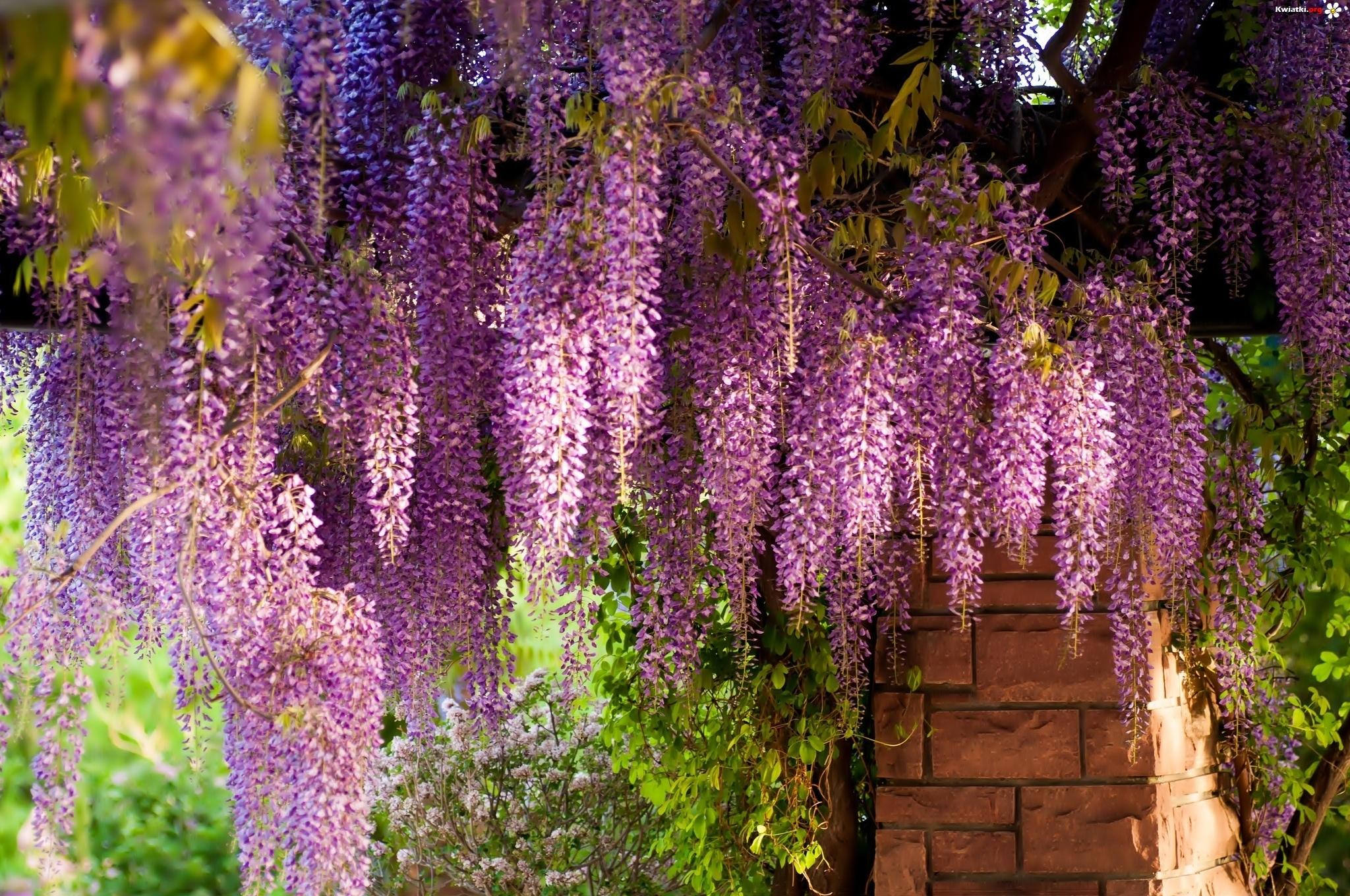 Kwiaty wisz ce wisteria zdj cia for The wisteria