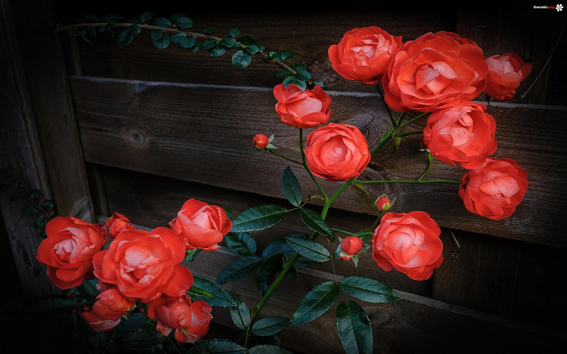 kwiaty-krzew-paki-roze-deski.jpeg