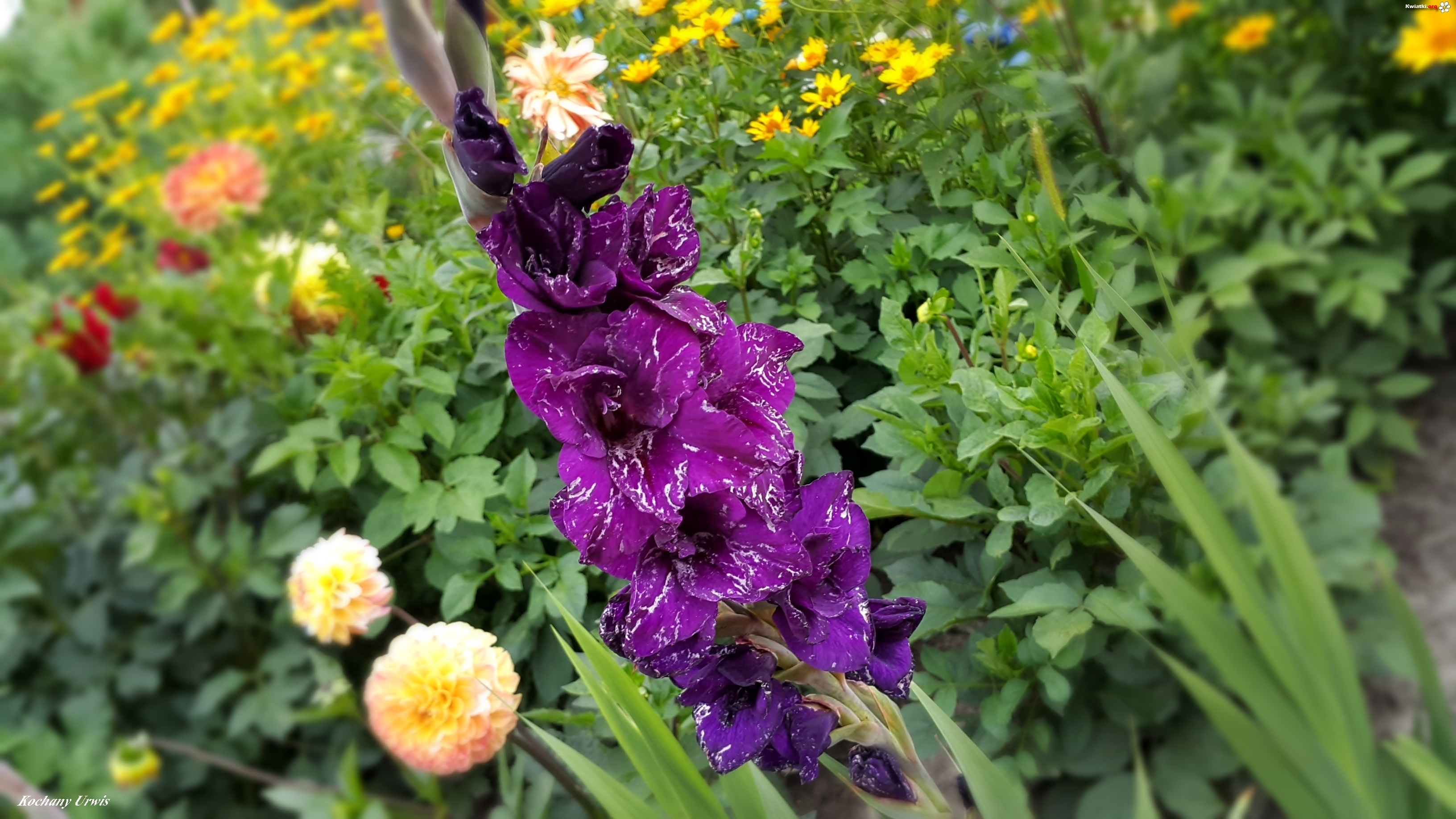 Ogrod Kwiaty Fioletowy Mieczyk Zdjecia