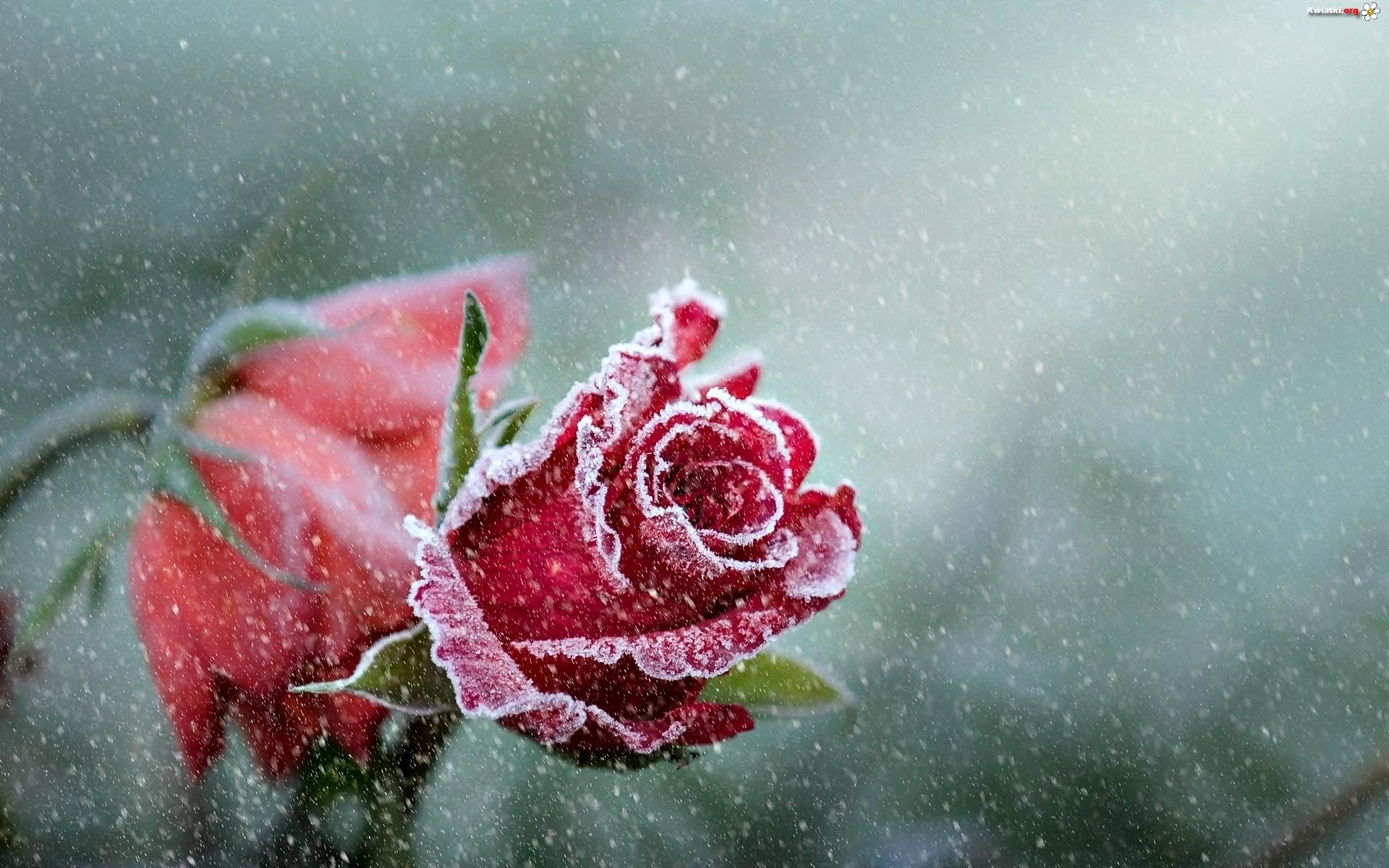 Oszronione, Róże - Zdjęcia